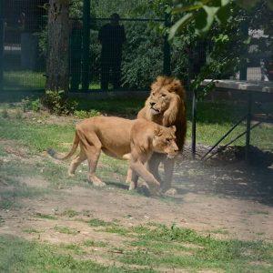 Ще правят пълен преглед на лъвовете и тигрите в Острова