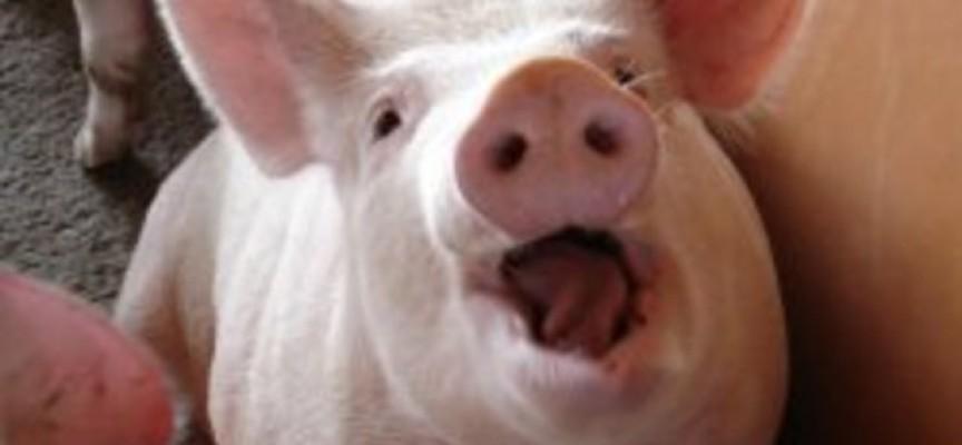 Областната епизоотична комисия: Няма нови чумави свине