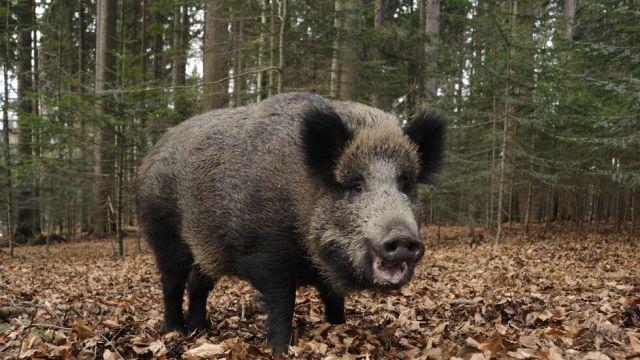 Груповият лов на дива свиня започна без инциденти